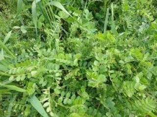 Cover crops, many more benefits than preventing wind erosion.